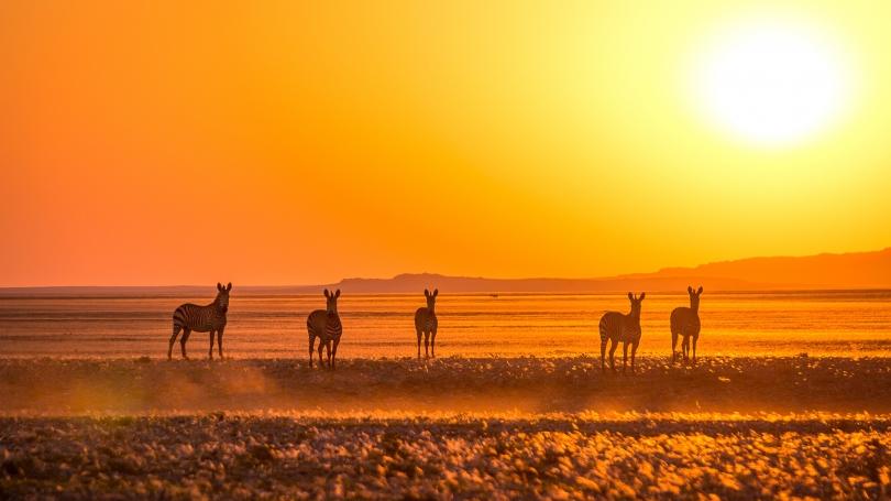 Mountain zebra near the Kuiseb River in the Namib Desert at sunset